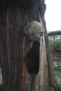 Loupe de bois