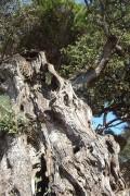 olivier pour tournage sur bois